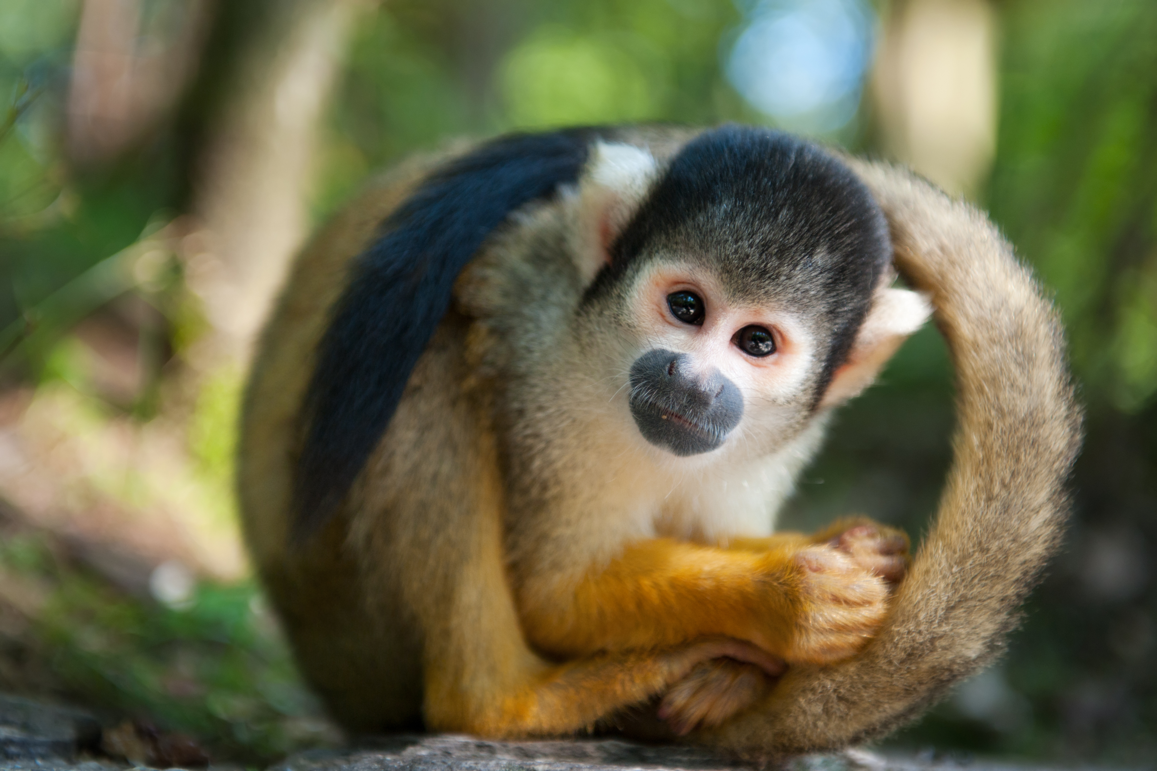 Costa Rica - Squirrel Monkey