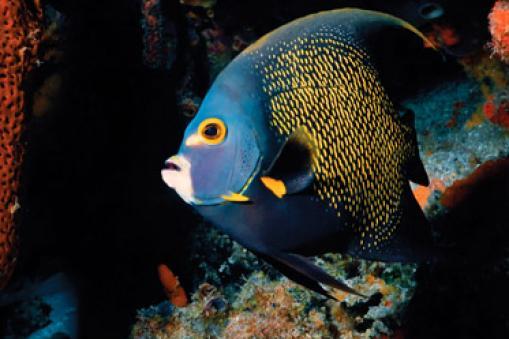 Angel fish, Belize
