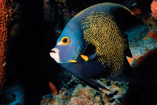 Angel fish, Belize