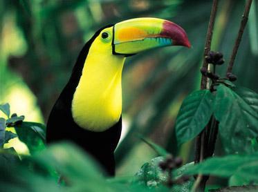 Tucan, Belize